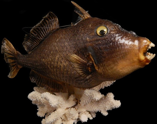 """Real Triggerfish Dried Great Party Decor 19"""" Free Shipping"""