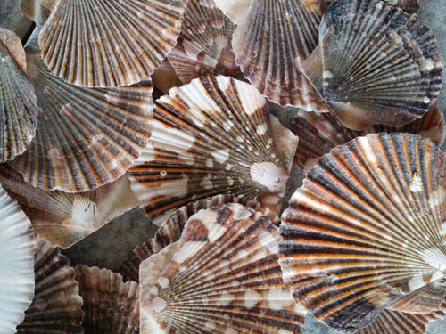 Baby Flat Scallop Shells (Case Pack 50) Free Shipping
