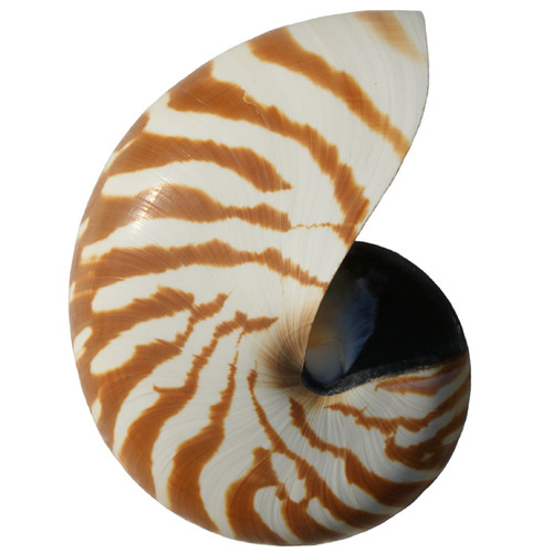 Natural Nautilus Center Cut Shell All Sizes