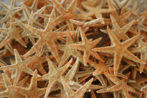"""Flat Starfish approx 2""""-3"""" Case Pack 12"""