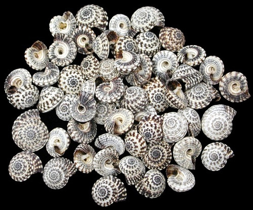 Heliacus Snail Shells 25pc bags Very rare  BuytheSeaOnline