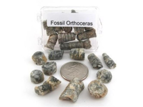 Boxed Fossil Orthoceras 250 Million years Old