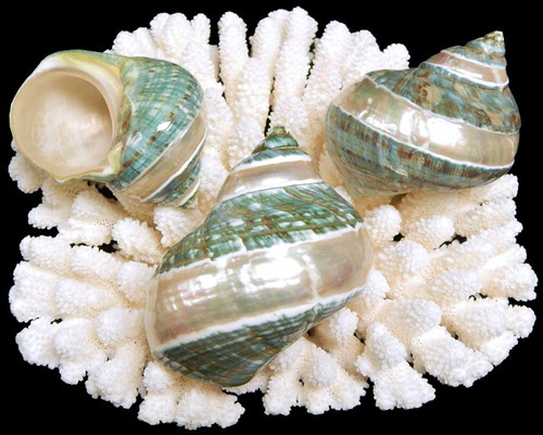 "Polished Banded Jade Turbo Seashell 3 1/2"" - 4"" Priced each Free Shipping"