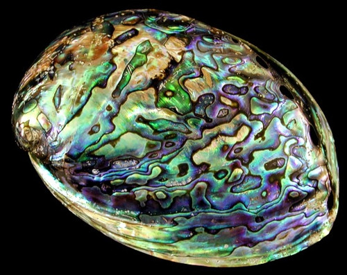 Polished Blue Paua Abalone Shells  Approx 5""
