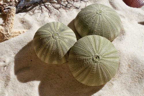 Green Sea Urchins case pack 3