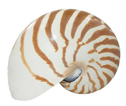 Natural Nautilus Shells all Sizes Beach decor