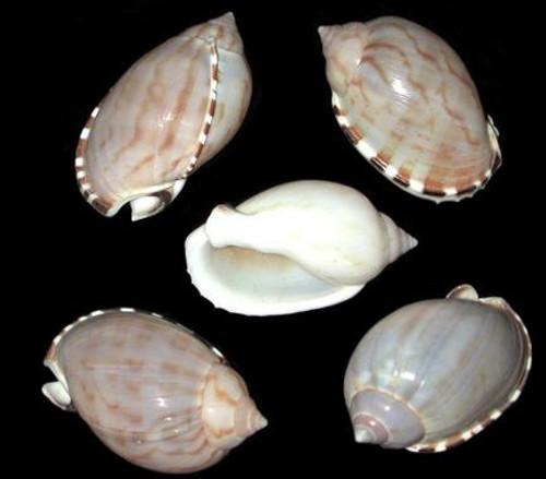 Cassis Vibex Shells - 10 pieces Hermit Crab shells