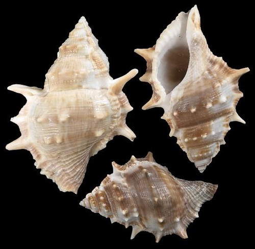Frog Seashells - Bursa bubo Priced per 10 seashells