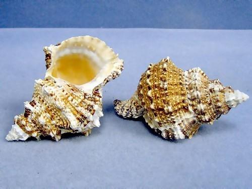 "Giant Frog Seashell 4""-5"" wholesale shells"