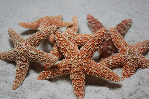 """Sugar Starfish 2-4"""" Case pack 6 Free Shipping Great for Crafts"""