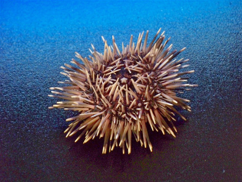 """Dried sea urchin with spines 2""""-3"""" Free Shipping by BuytheSeaOnline"""