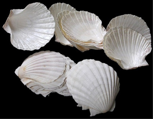 Irish Baking Scallop Shells Case Pack 50