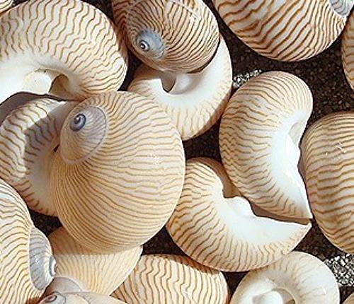 Lined Moon Snail Seashells 10 pcs Hermit Crab shells
