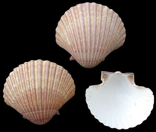 "Mexican Deep scallop seashells 2 1/2""-3"" (Case Pack 12) Free Shipping"