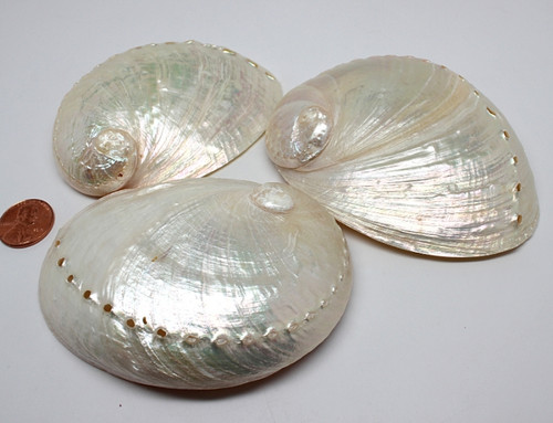 Polished Cream Abalone Shells (Case Pack 3)