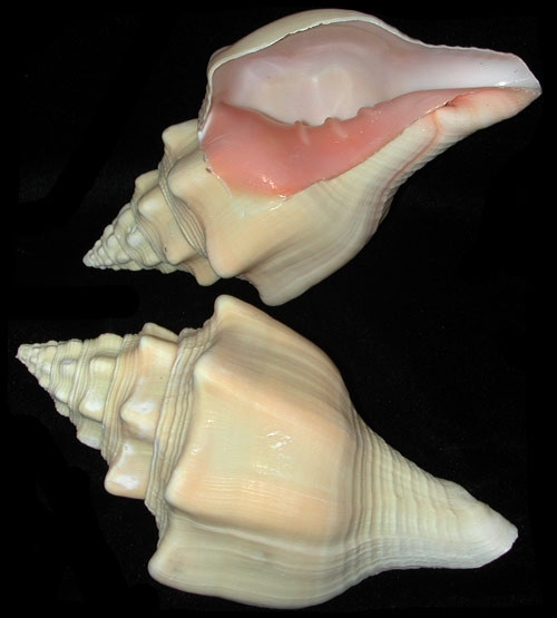 """Rare West Indian Chank Conch Shell 4""""-5"""""""