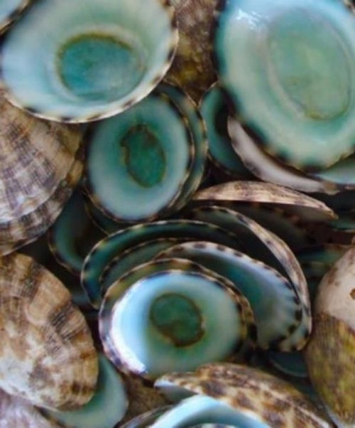 Small Green Limpet Shells Case Pack 50 pcs Free Shipping