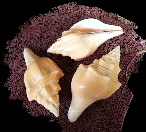 """Rare West Indian Chank Conch Shell 5""""-6"""""""