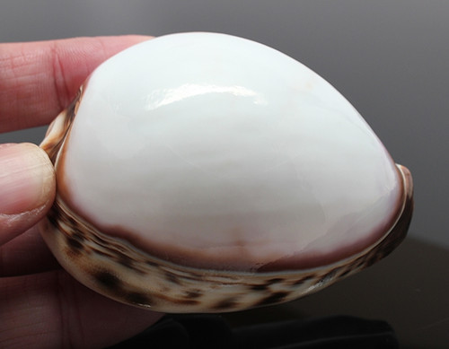 """Rare White Tiger Cowrie Seashells Approx 3""""+ Priced each"""