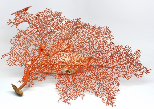 "Genuine Natural Sea Fan 11=10"" FREE SHIPPING"