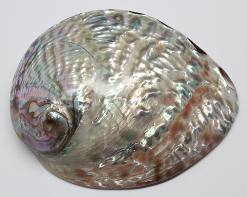 Front side Polished Abalone Shells Great for smudging FREE SHIPPING