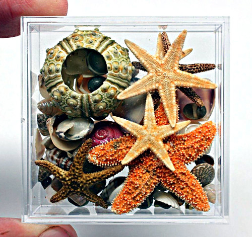 Acrylic Boxed Natural small Shells Urchins and Starfish