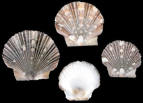 Baby Flat Scallop Shells Qty 50 Free Shipping