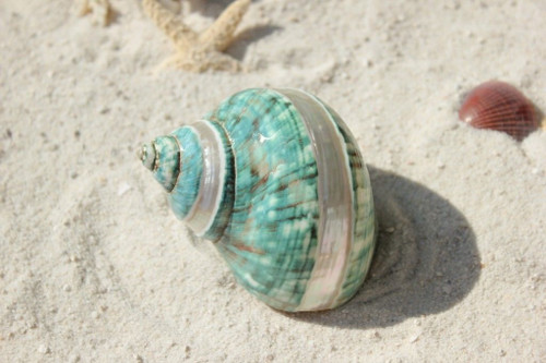 "Polished Banded Jade Turbo Seashell 3 1/2"" - 4"""