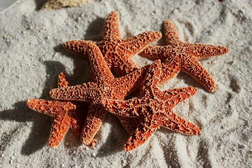 "Sugar Starfish SeaStar 2""-3"" Case Pack 6"