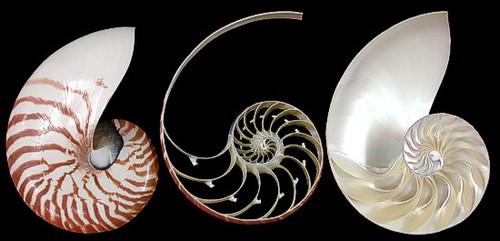 "Natural Nautilus 3 Section Cut Sea shell 4""-5"""