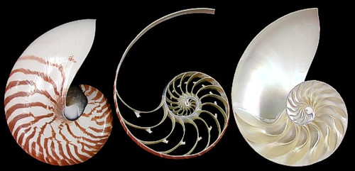"Natural Nautilus 3 Section Cut Sea shell 4""-5"""