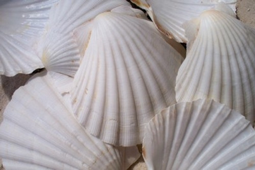 "Irish baking Scallop Shells 4""-5"" Case Pack 10"