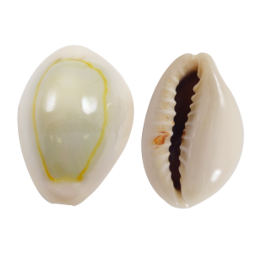 Ringtop Cowrie (Case Pack 1) Cypraea annulus, Craft Shells