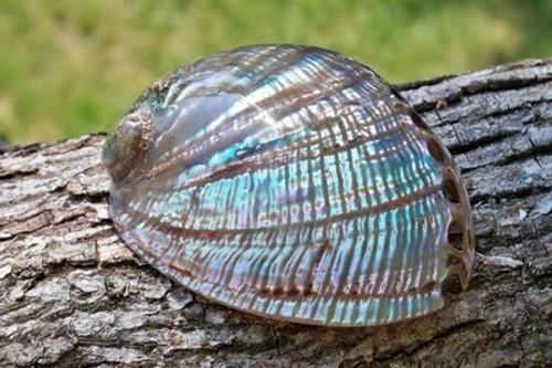 """Polished Fulgens Abalone Shells 5""""-7"""" BuytheSeaOnline"""