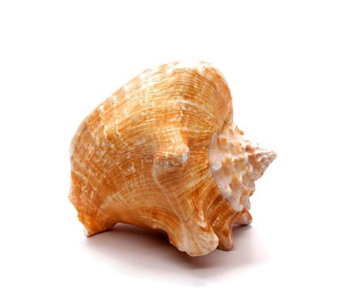 Small Conch Shells