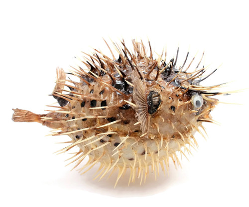 "Puffer Porcupine Real Fish Blowfish 5""-6"""