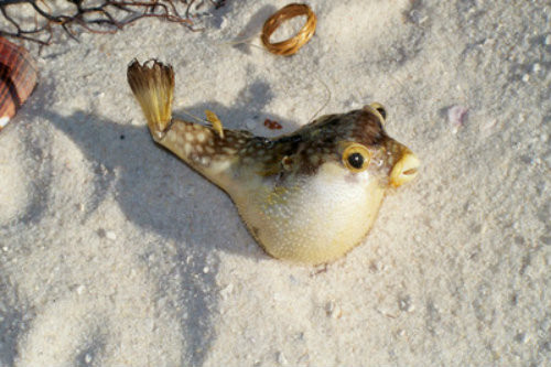 "Puffer Real Fish Blowfish 2""-3"""
