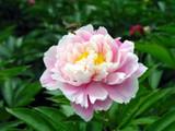 Baishao (Paeonia lactiflora)