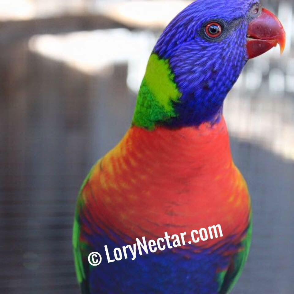 Bright Lory from LoryNectar. Try out Lory food Dry Diet.