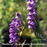 Skullcap Root - Scutellaria baicalensis