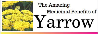The Amazing Medicinal Benefits of Yarrow Flower