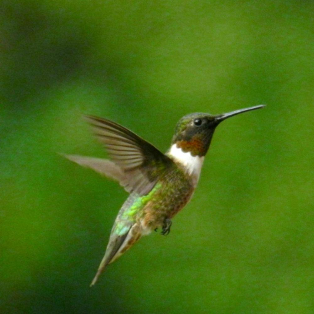 hummingbird.gif
