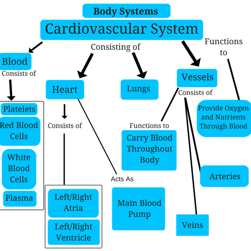 cardiovascular-system-body-systems.png