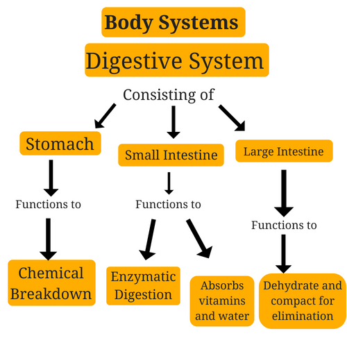 digestive-system-body-systems.png