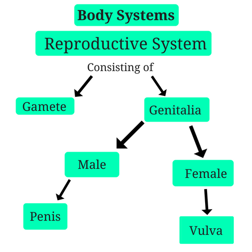 reproductive-system-body-systems.png