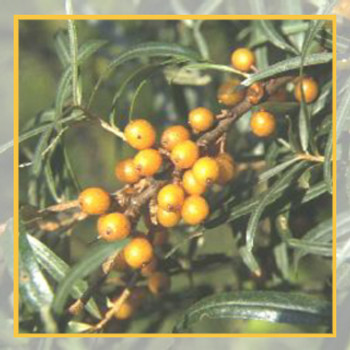 SEABUCKTHORN BERRY OIL DECOLORISED SHAJIO