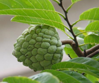 DRY EXTRACT OF SOURSOP 1KG