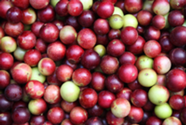Camu Camu The Healthiest Berry In The World Sarvaa Superfood