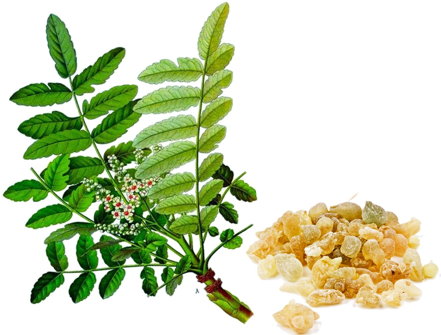boswellia-serrata-leaf-and-resin.jpg
