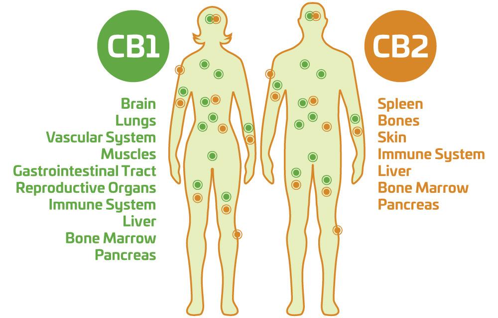 cbd-endocannabinoid-system-body.jpg